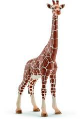 Femmina di Giraffa